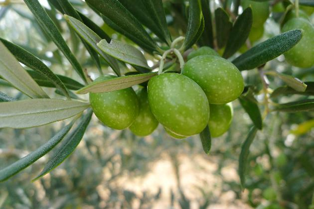 Olive Oil: Origins and Production Process